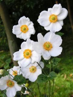 今日10/15の誕生花は、『シュウメイギク』、『ミセバヤ』です♪
